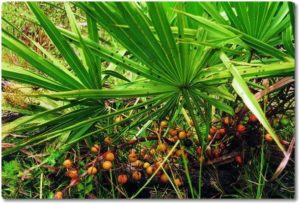 Saw-Palmetto-berry