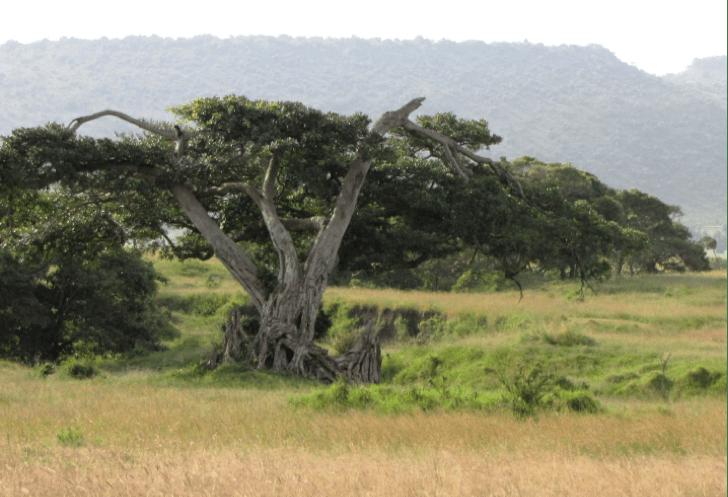yohimbe-tree
